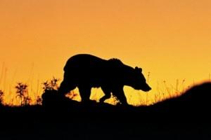 abbruzzo-orso